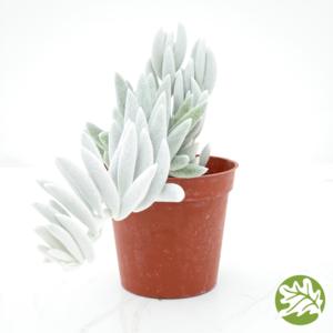 """SENECIO Cocoon Plant Medium 3"""" pot #3742"""